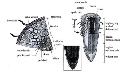 Organ Tumbuhan - Penampang Akar Tumbuhan - Risnaldy